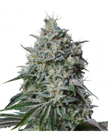 Cachalote - Feminized Seed