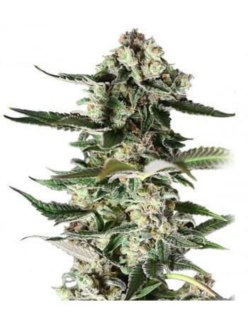 Critical Purple - Feminized Seed
