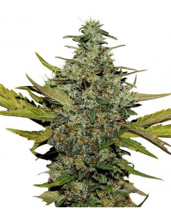 Super Skunk - Feminized Seed