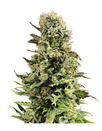 Auto Super Skunk Gea Seeds