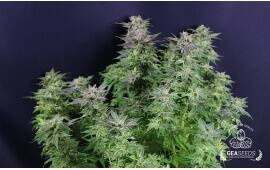 Auto Widow Gea Seeds