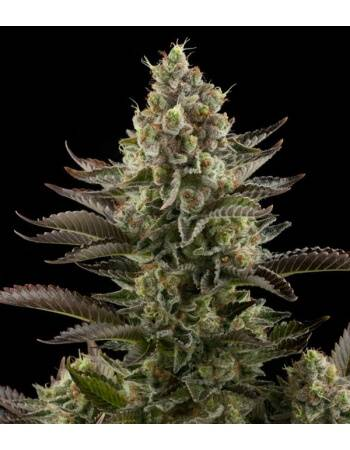 White Widow - Dinafem