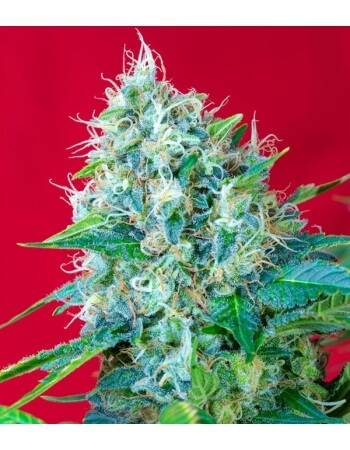 Green Poison - Sweet Seeds