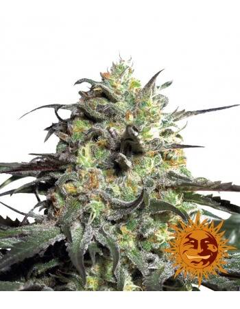 Peyote Cookies - Barney´s Farm