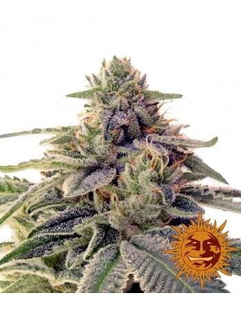 Shiskaberry - Barney´s Farm