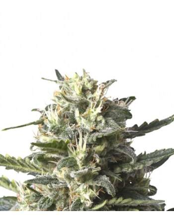 Lemon Shining Silver Haze - Royal Queen Seeds