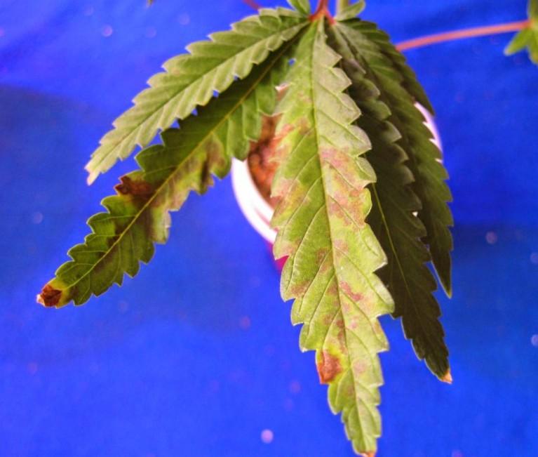 Deficiencia de Fósforo en plantas