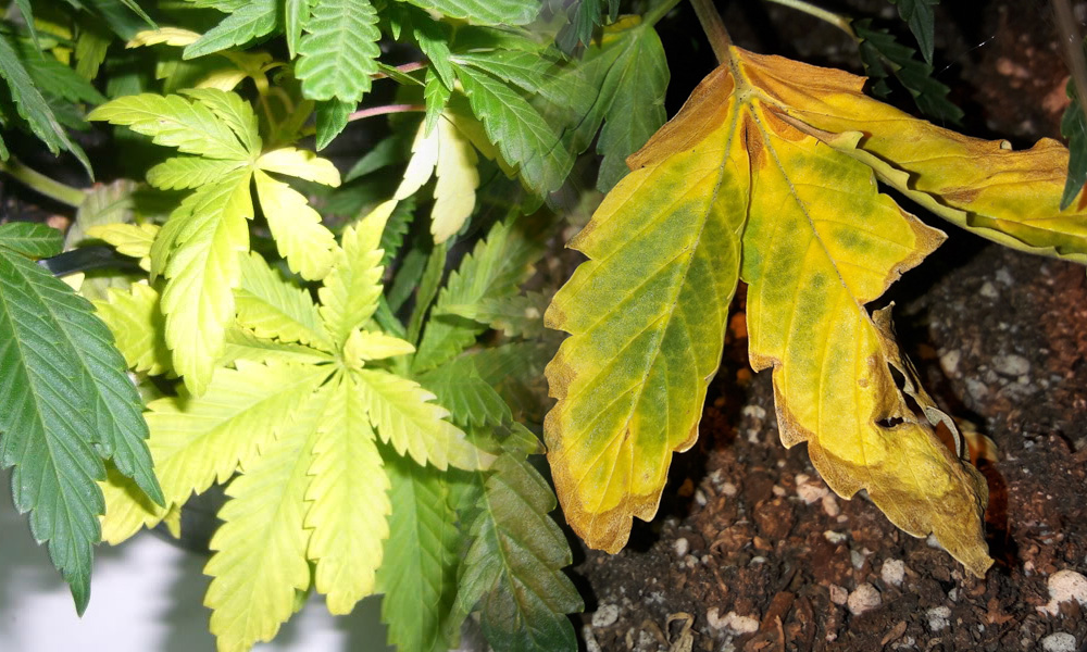 hojas amarillentas