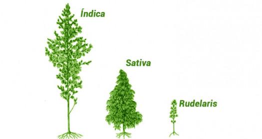 Los distintos tipos de marihuana