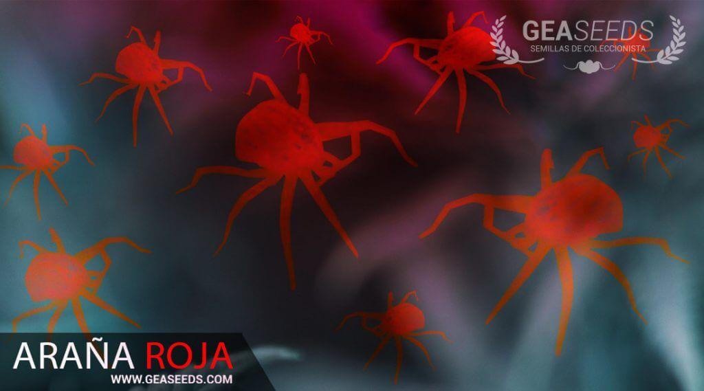 Araña roja plaga