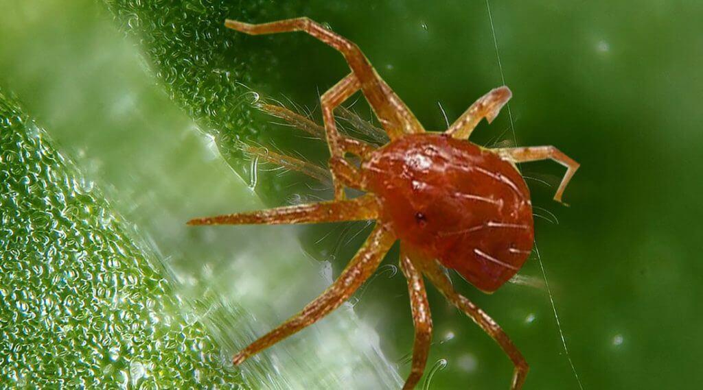 Como combatir a la Araña Roja en la marihuana