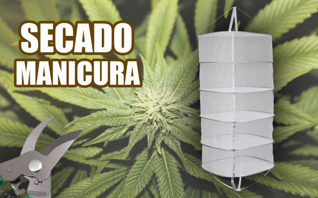 Secado, curado y manicurado de marihuana