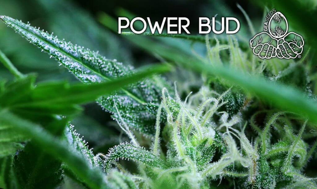 power bud tricoma
