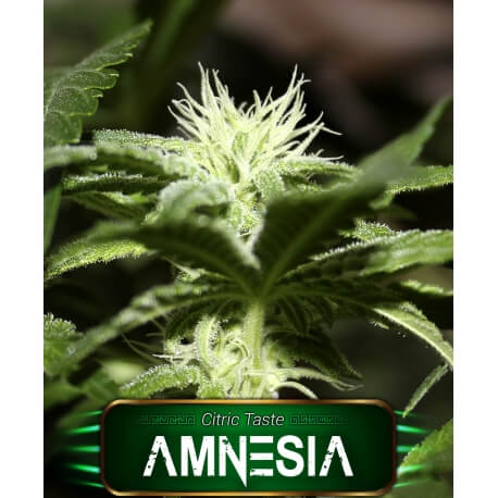 amnesia geaseeds