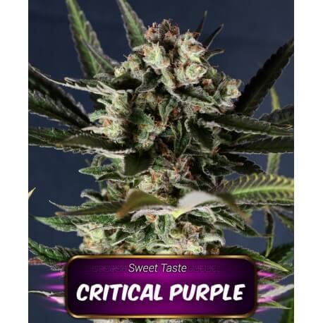 critical purple geaseeds