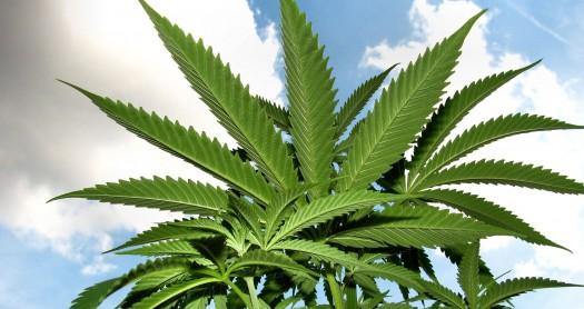 cultivo de marihuana para exteriores
