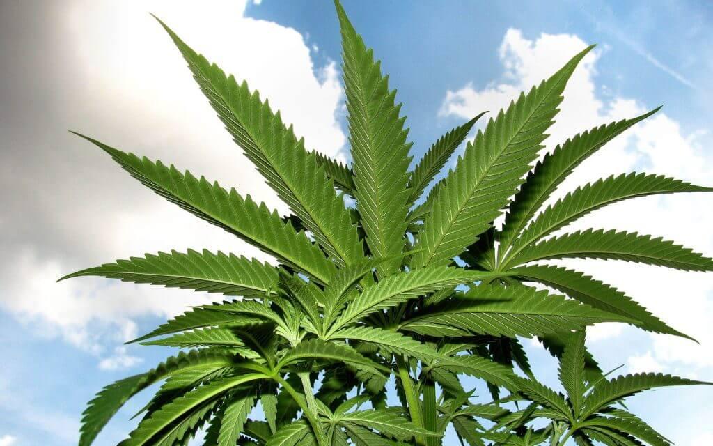 Culture de marijuana à l'extérieur