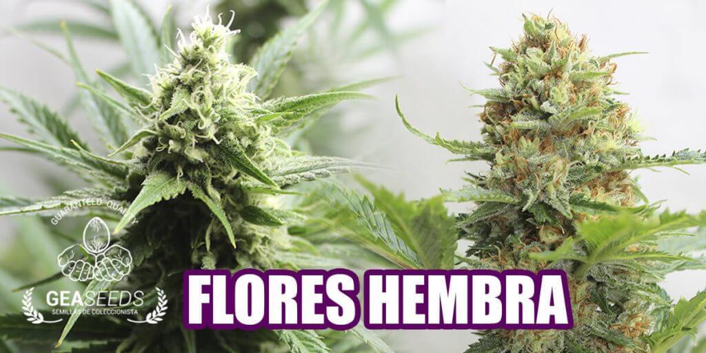 Marihuana flores hembra