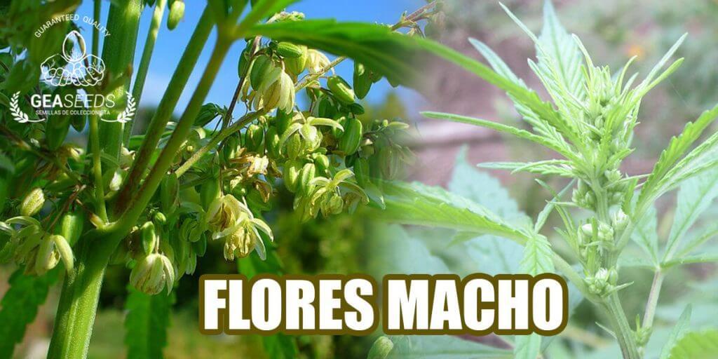 Marihuana flores macho