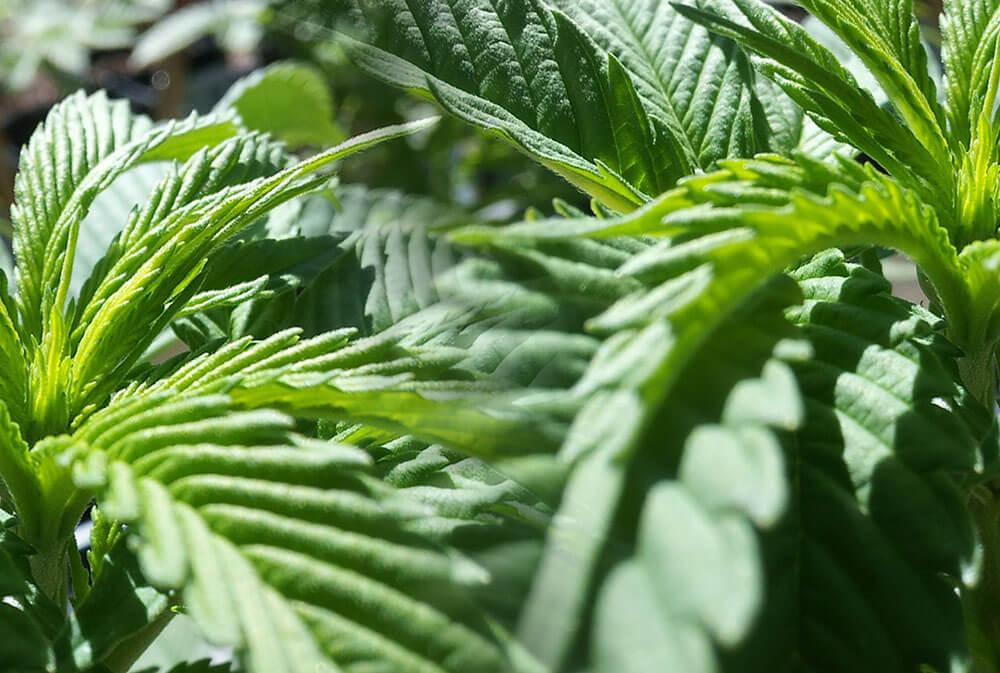 C mo cultivar marihuana en exterior paso a paso - Como plantar marihuana en casa paso a paso ...