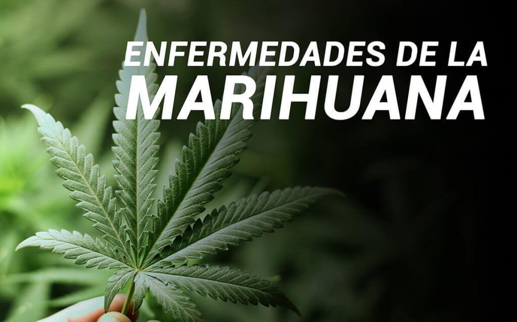 Enfermedades de la marihuana1
