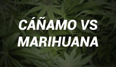 cañamo marihuana