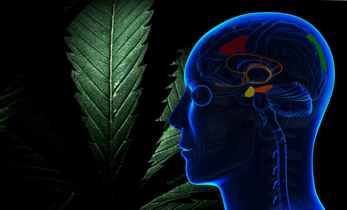 cerebro marihuana