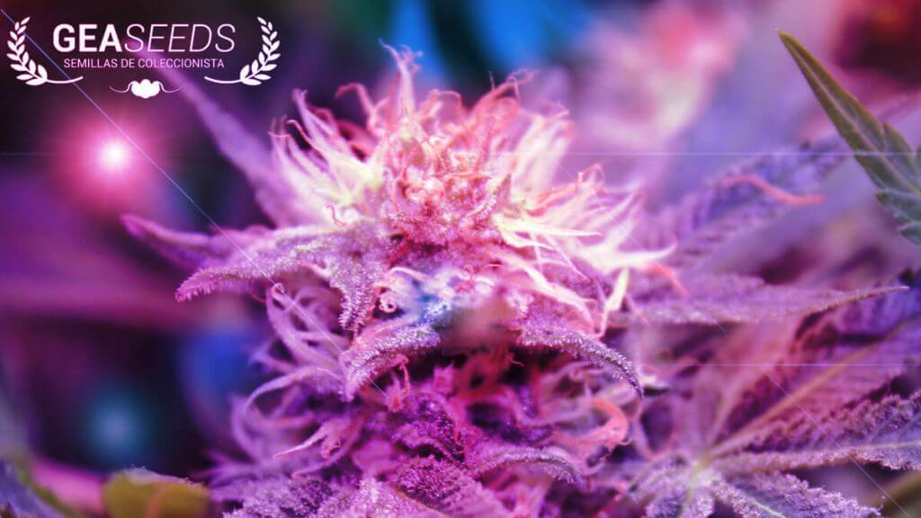 Tipos de bombillas para cultivo de marihuana hps mh cfl for Bombillas cultivo interior