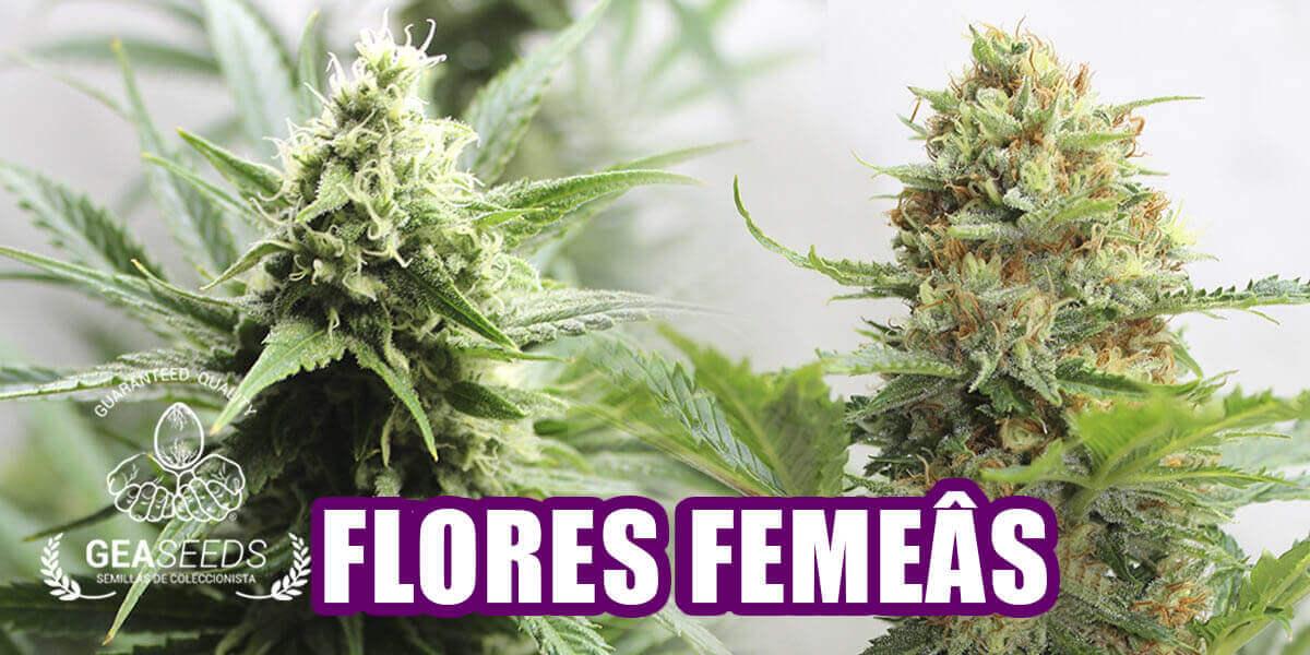 Flores de marijuana femêas