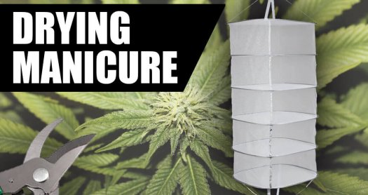 HOW TO MANICURE, DRY AND CURE MARIJUANA