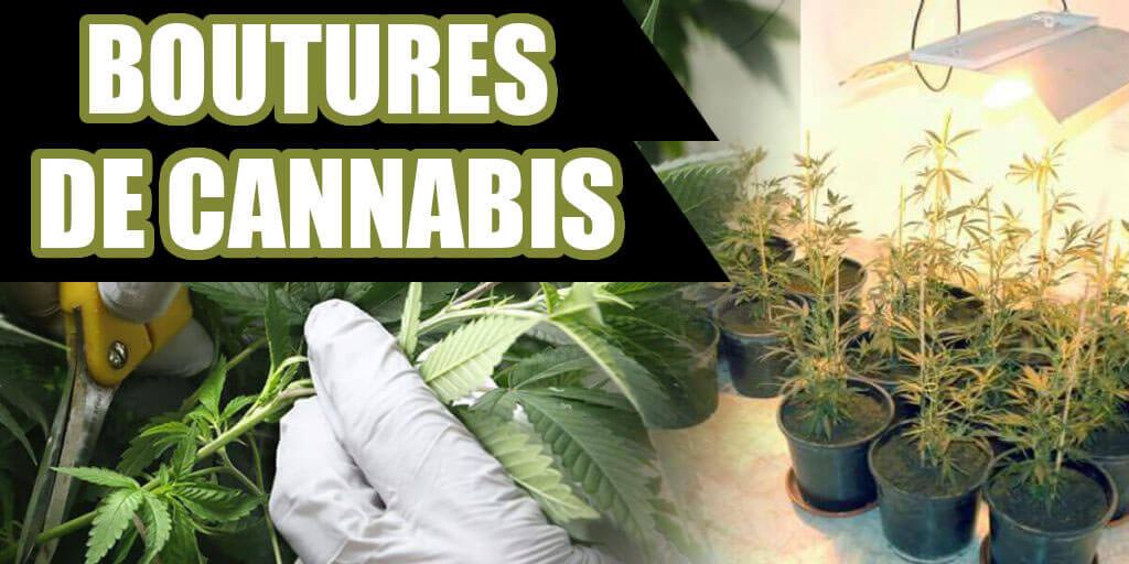 boutures de cannabis