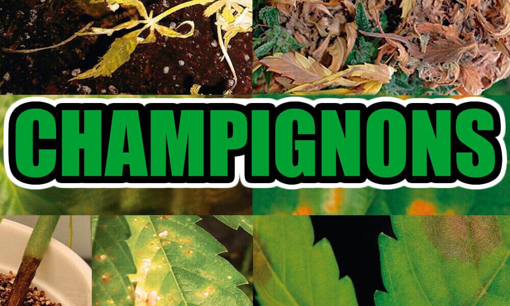 Champignons de plantations de marijuana