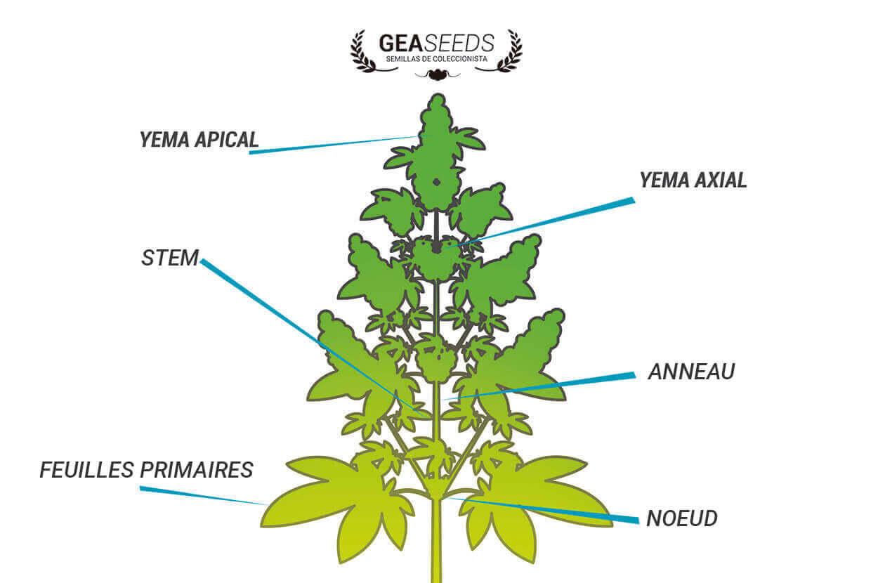 d'où prendre des boutures de marijuana