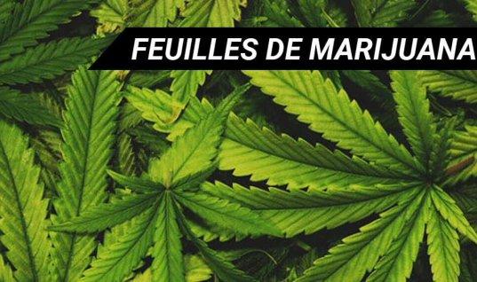 FEUILLES DE MARIJUANA   CANNABIS