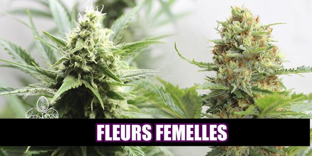 Fleurs de marijuana femelle