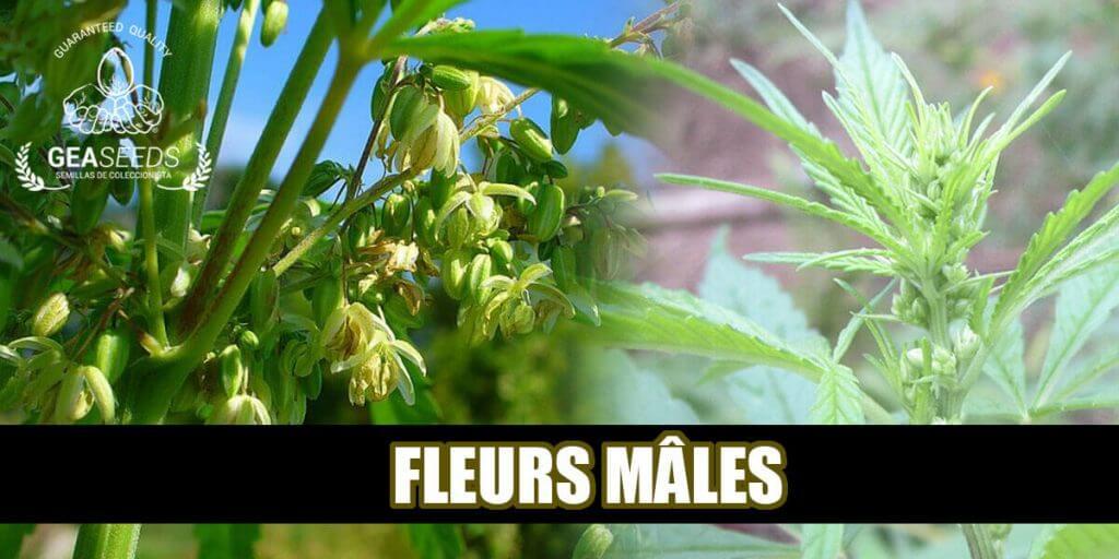 Fleurs mâle de cannabis