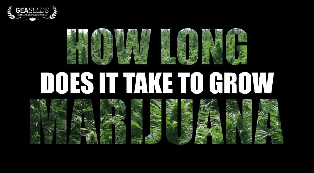 How long does it take to grow marijuana?