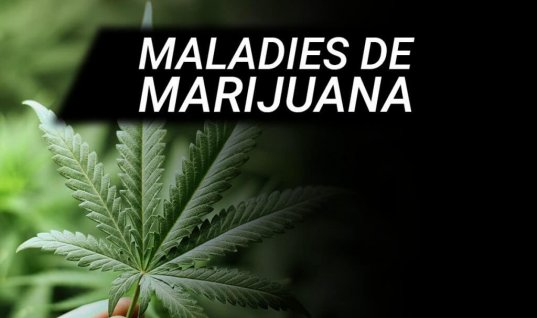 LES PATHOLOGIES DES PLANTES DE CANNABIS