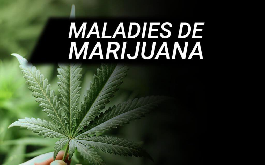 Les pathologies de la marijuana
