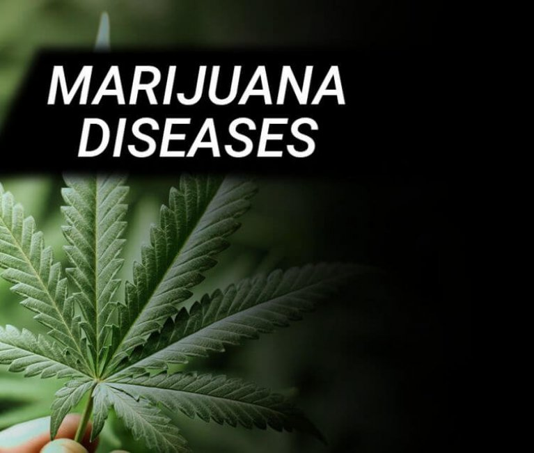 MARIJUANA DISEASES | CANNABIS