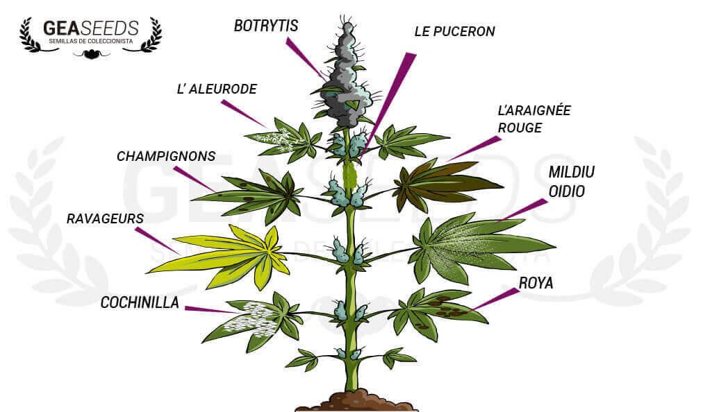Maladies de la marijuana