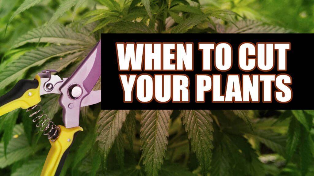 when to cut marijuana