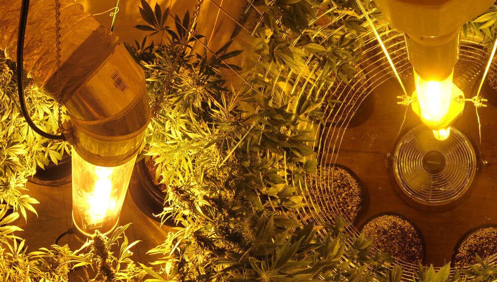 Cultivo vertical de marihuana