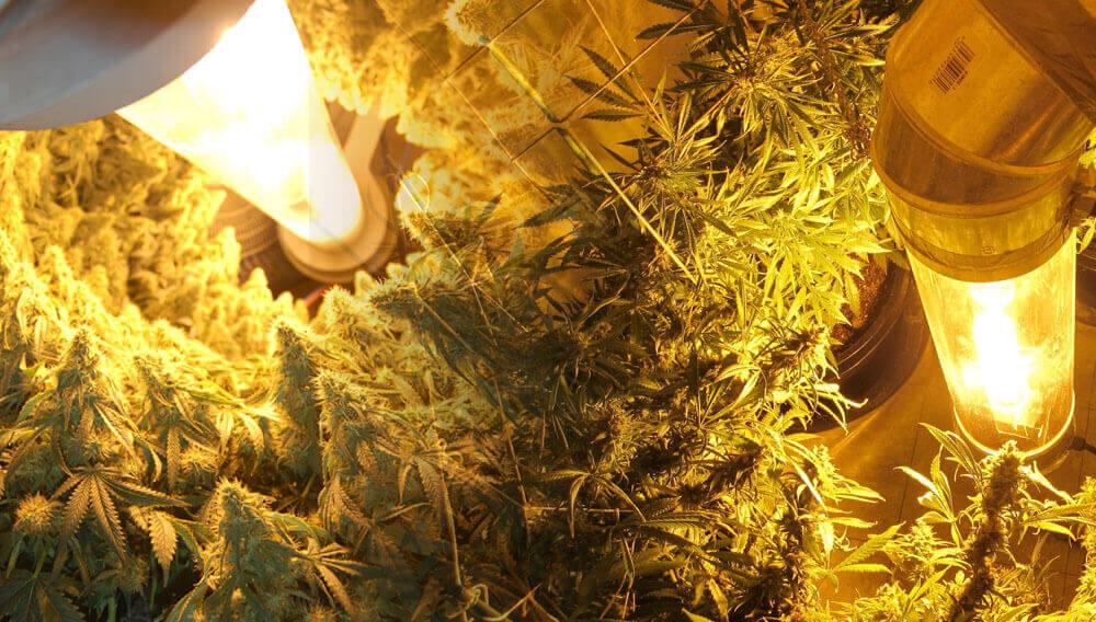 Cultivo de cannabis vertical