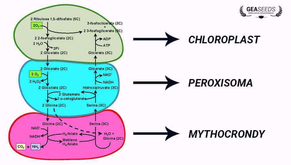 photorespiration diagram