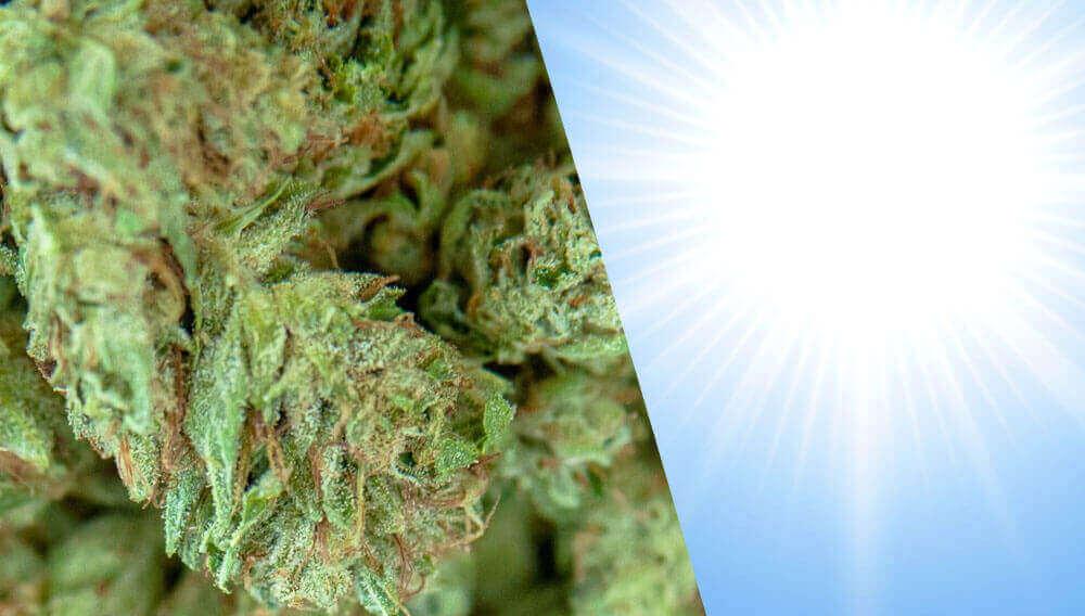 buds and sun