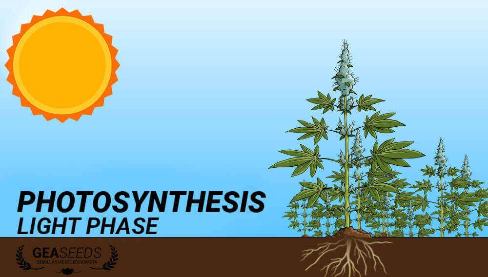 photosynthesis luminous phase