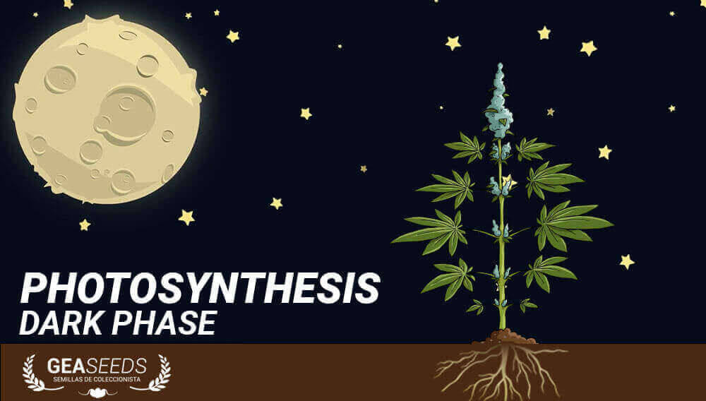 dark phase photosynthesis