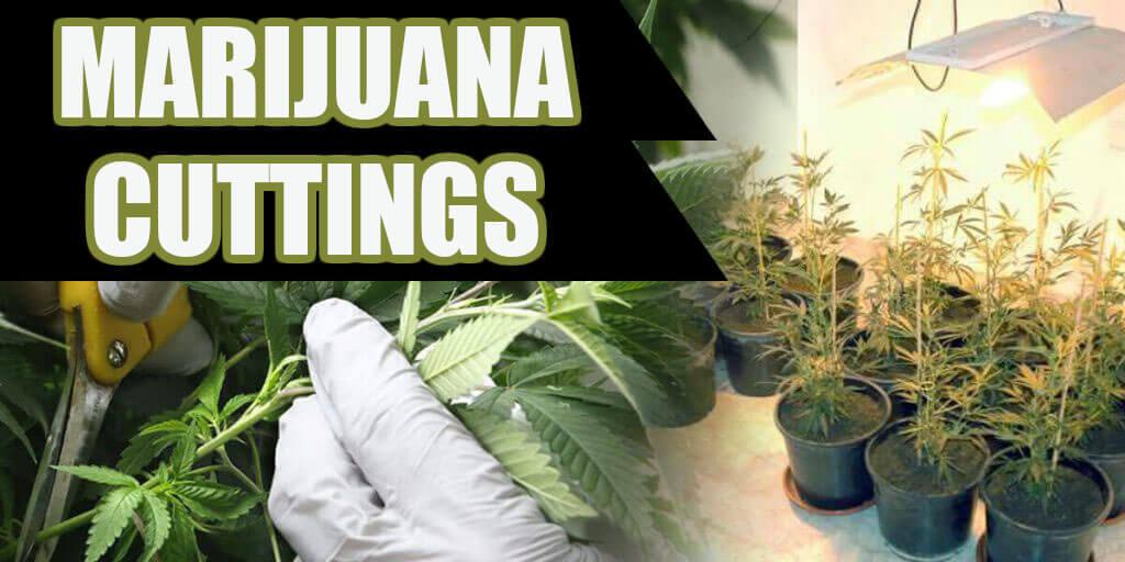 marijuana cuttings