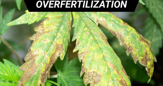 overfertilization